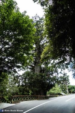 Bilu sacred tree