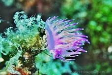 Flabellina affinis (Flabelína fialová), potápění v Chorvatsku 1