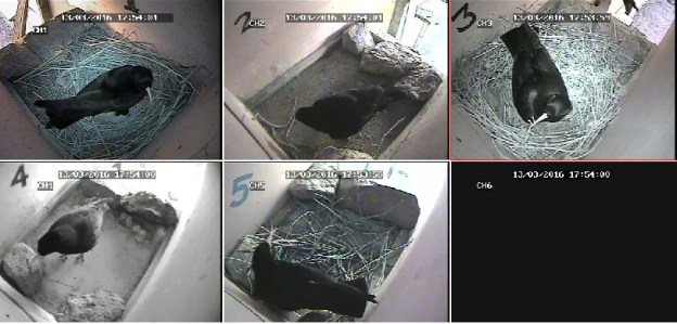 CCTV Image of the five chough nests at Paradise Park