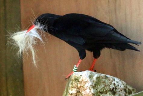 Nest three female chough with horse hair
