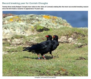 Chough update from Rare Bird Alert, 5th July 2016