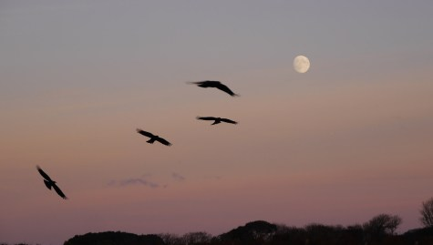 Choughs on Jersey going to Roost. Pic Liz Corry.