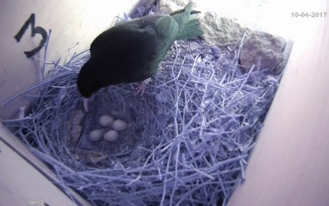 A Fourth Egg in Nest 3