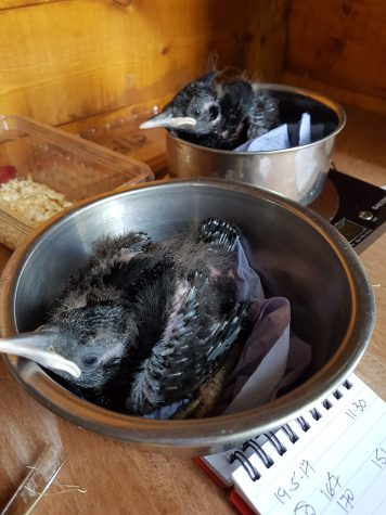 Two chough chicks being weighed