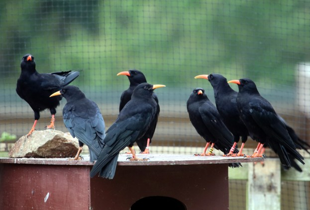 Two young choughs in a larger group of adult birds. Picture R Hales.