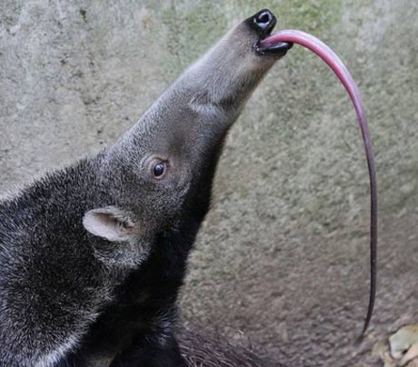 https://i0.wp.com/chourishi.in/wp-content/uploads/2017/07/giant-anteater-tongue1.jpg?w=736