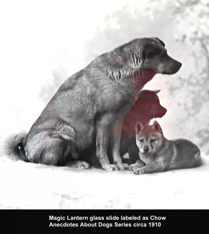 Chow Chow & Pup Anecdotes About Dogs Series Magic Lantern Glass Slide