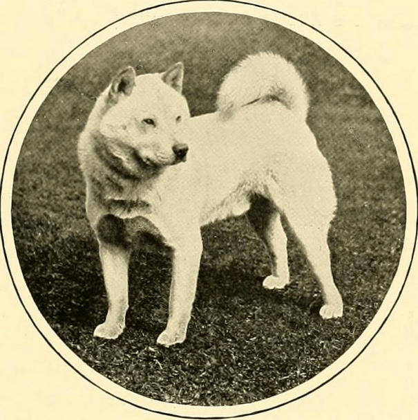 "THE HON. MRS. MACLAREN MORRISONS SMOOTH CHOW ""FASON""BRED BY MRS. HARRY RAWSON.Photograph by Clarke"