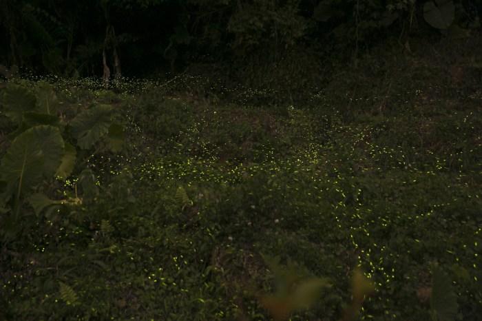 北部也能輕鬆看到螢火蟲 為了貓頭鷹買下一座山的卓也小屋 螢火蟲復育成功