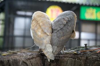 (日本北海道) 互動式動物園 northsafari札幌 餵獅子,貓頭鷹,ノースサファリサッポロ