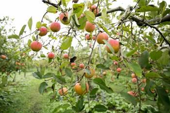 (日本島根縣) 秋天就是要採蘋果囉!島根赤來高原觀光蘋果園 大豐收季節正式宣告來臨