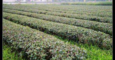 (台灣好好玩) 宜蘭綠活-食材之旅 三泰休閒農場 採茶培茶揉茶DIY體驗