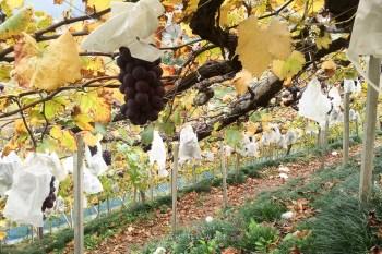(山梨縣觀光) 三十種陽光下亮晶晶的華麗寶石 葡萄田採收體驗 ぶどうばたけ ぶどう狩り・食べ放題