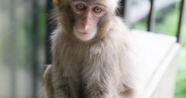 猴子稱大王?!野放猴子的自然保護園區 大分縣高崎山自然動物園