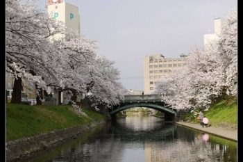 (日本) 富山縣 日本賞櫻名所百選之一,搭乘松川遊覽船把櫻花美景盡收眼底吧!