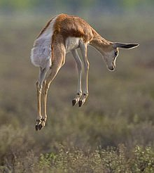 "This is a photo from the web of a Springbok ""pronking,"" something I witnessed but didn't manage to record."