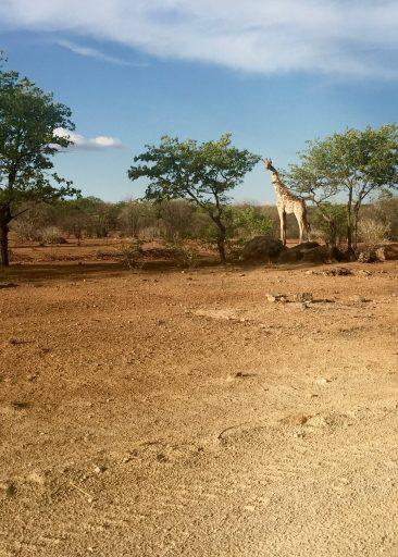 81-giraffe-2
