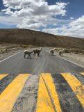 Alpaki na Płaskowyż Altiplano