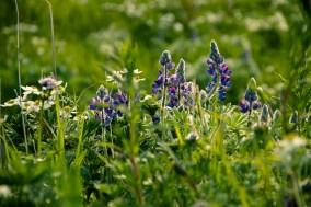 Mount Roberts flowers-8