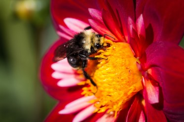 bee-and-a-flower
