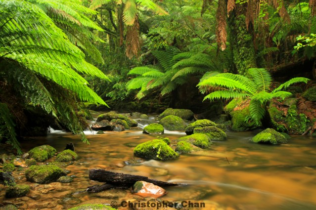 Rainforest near Lake St Clair in Tasmania, Australia