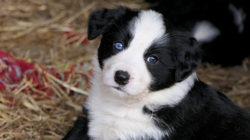 Cute collie pup