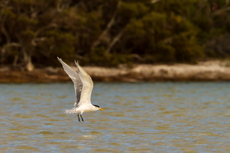 Fishing Crested Terns