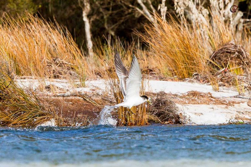 fishing-terns-3