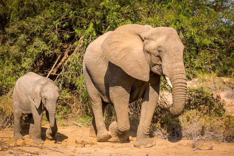 Desert Elephants Damaraland