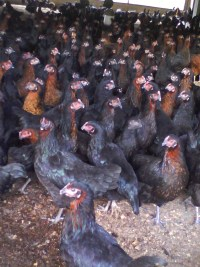 Poultry Farming Feasibility Study