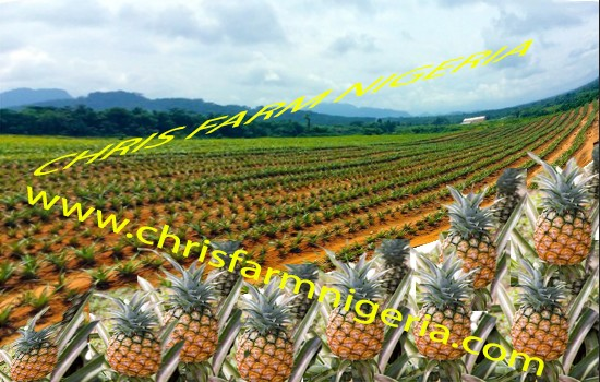 Pineapple plantation or any Plantation Business plans and feasibility study