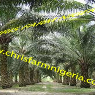Palm Oil Plantation Business Plans And Feasibility (Get an irresistible one)