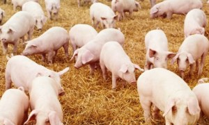 Easy Steps In Pig Production / Feasibility Study & Business Plans
