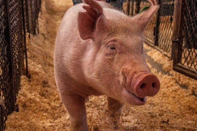 Lucrative Pig Farming Business Plan and Feasibility Study