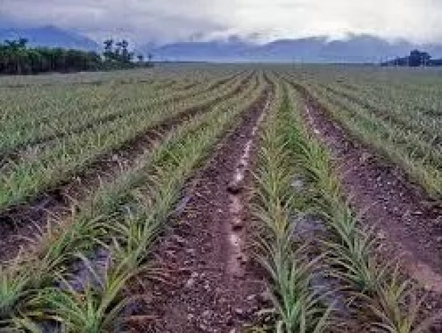 All about Pineapples Farming Business/Business Plans/Guide