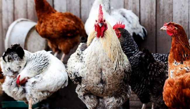 Poultry Diseases And Cure During The Raining Or Cold Season