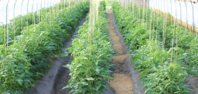 Tomato Farming/Processing on Business Plans and Feasibility Study Report