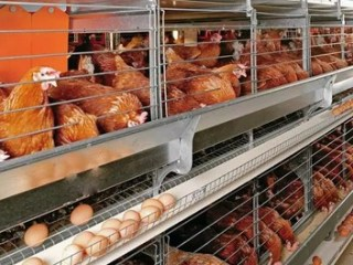 Poultry Business Plan Feasibility Study For Startup