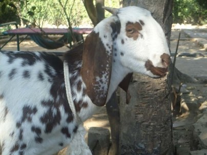 Profitable Goat Farming Business Startup Guide
