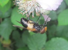 Volucella pellucens (a hoverfly)