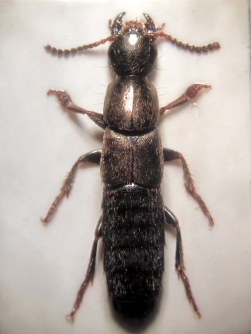 Ocypus aeneocephalus, one of the rove beetles