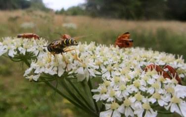 Chrysotoxum festivum (hoverfly) gatecrashing a soldier beetle orgy...