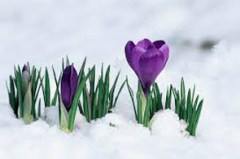 buddingcrocusinsnow copy