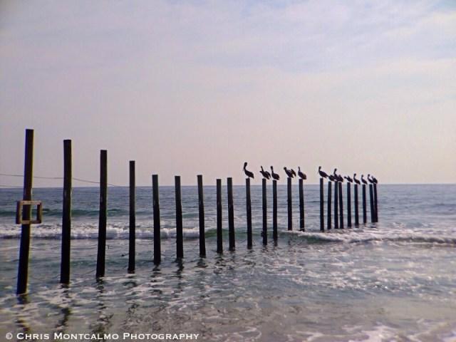 Pelicans at the Beach