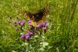 Butterfly in the pasture