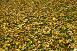 Dry leaves, as before the wild hurricane fly...
