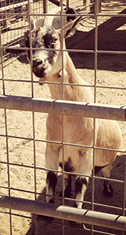 An awesome goat at the Underwood Family Farms Harvest Festival in Ventura County, CA.