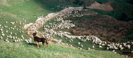 Mustering New Zealand Hill country.jpg