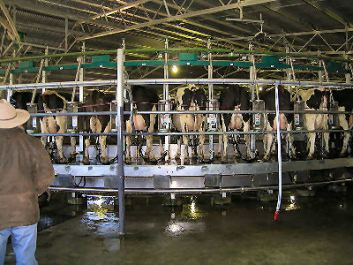 NZ Dairy Shed