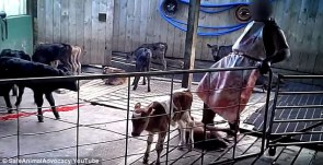 Dairy 'Industry' cruelty